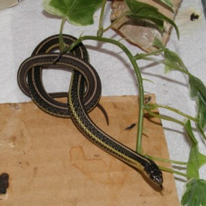Young Butler's Garter Snake. Captive specimen. Photo: D. Patenaude