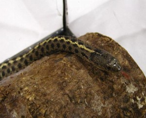 Wandering Garter Snake. Captive female specimen. Photo: D. Patenaude