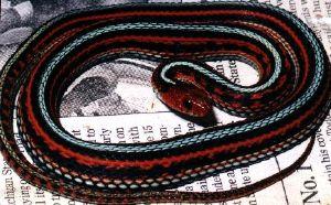 San Francisco Garter Snake. Photo: P. Blais